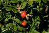 <center>Wild Berries <br><br>Sachuest Point National Wildlife Refuge<br>Middletown, RI</center>