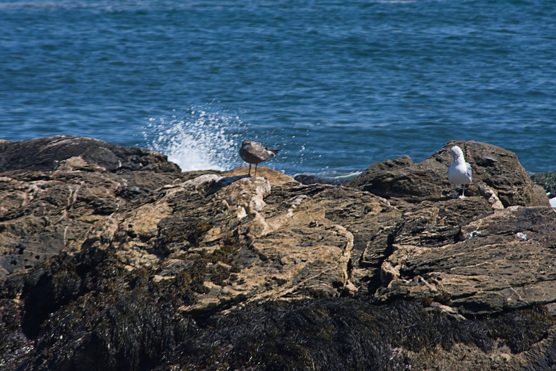 <center>Juvenile Gull (on left) <br><br>Sachuest Point National Wildlife Refuge<br>Middletown, RI</center>