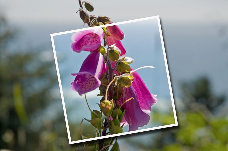 ND70_2005-07-15DSC_1758-PurpleFlowerCloseup-nice-SnapshotEffect-3_edited-1