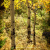 Aspens in fall | South West Colorado