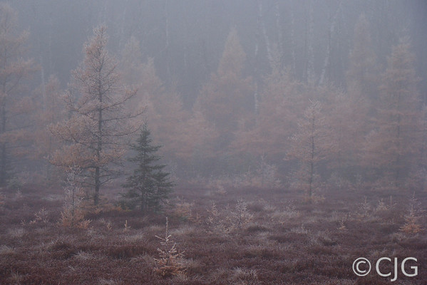 Yellow Tamarack In The Fog