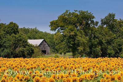 KyScenicSunflowers_08 07 2009_esp-9612