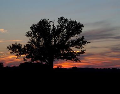 Bur Oak - Sunset