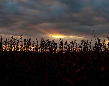 Sunset over a soybean field