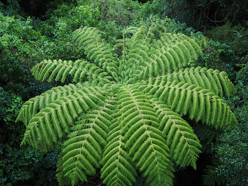 Fern at Atari Wilton Bush, Wellington
