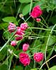 <center>Wild Roses    <br><br>World's End - Hingham, MA</center>