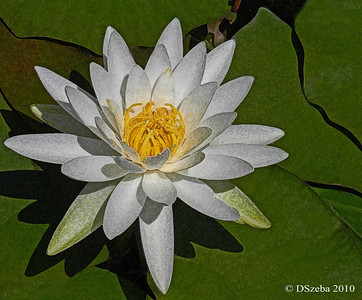 Water lily in my backyard pond.