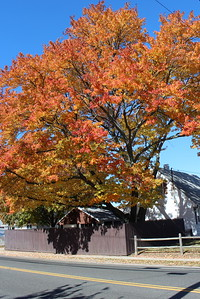 Maple tree, Oceanside, NY