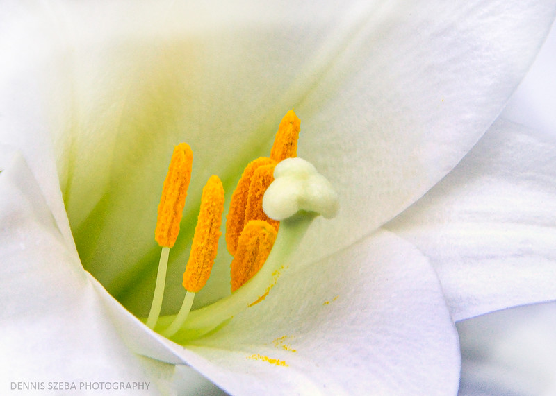 Lily - hadnot (1)