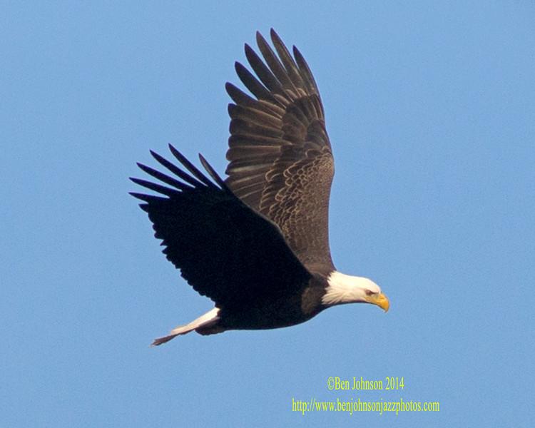 Bald Eagle - Conowingo Dam
