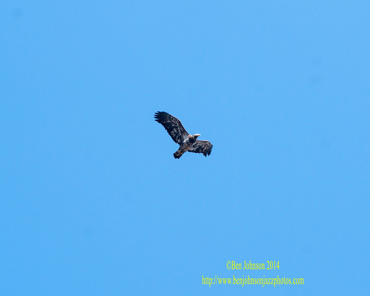 Bald Eaglle - Conowingo Dam