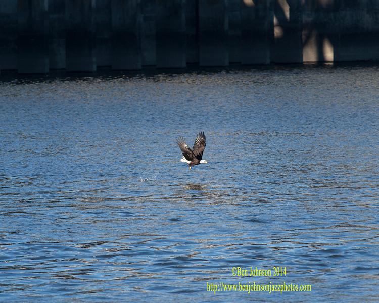 Bald Eaglle - Conowingo Dam