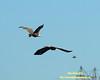 Top Gun Maneuver Up - Bald Eagle - Conowingo Dam