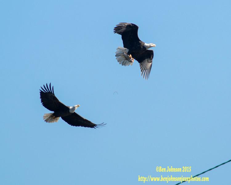 I WANT THAT FISH!!! - Bald Eagle - Conowingo Dam