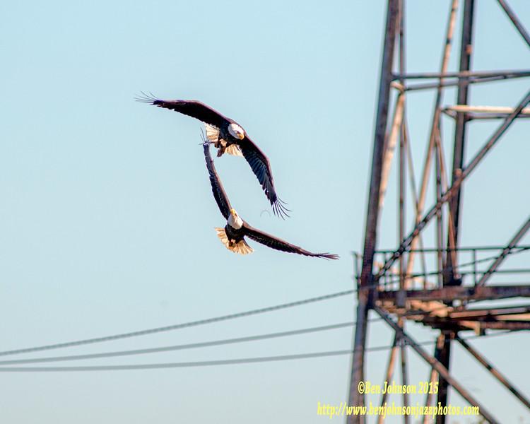 Let The Chase Begin - Bald Eagle - Conowingo Dam