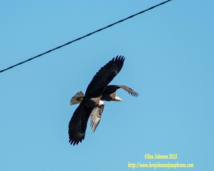 Attack from below! - Bald Eagle - Conowingo Dam