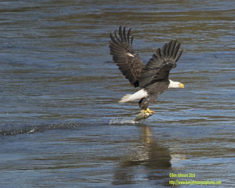 Bald Eagle At Conowingo Dam Snatching A Fish In The Susquehana River
