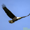 Bald Eagle - Conowingo Dam
