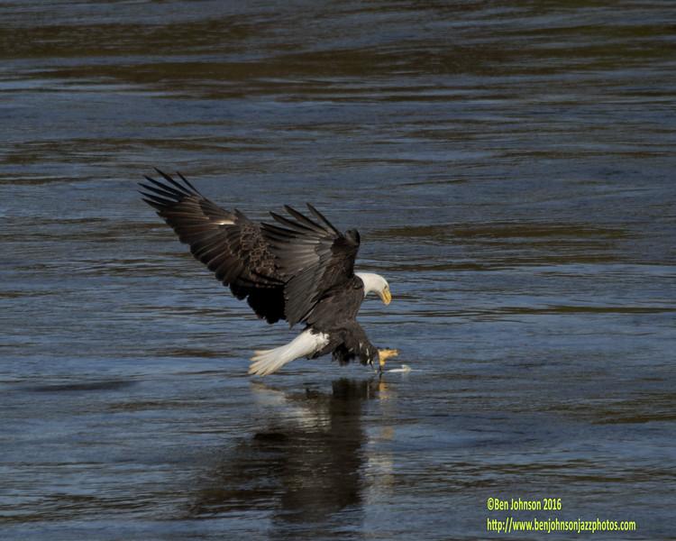Bald Eagle At Conowingo Dam Stalking A Fish In The Susquehana River