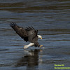 Bald Eagle At Conowingo Dam Stalking A Fish In The Susquehana River