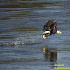 Bald Eagle At Conowingo Dam Snatching A Fish In The Susquehana River
