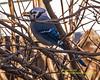 Blue Jay 012018