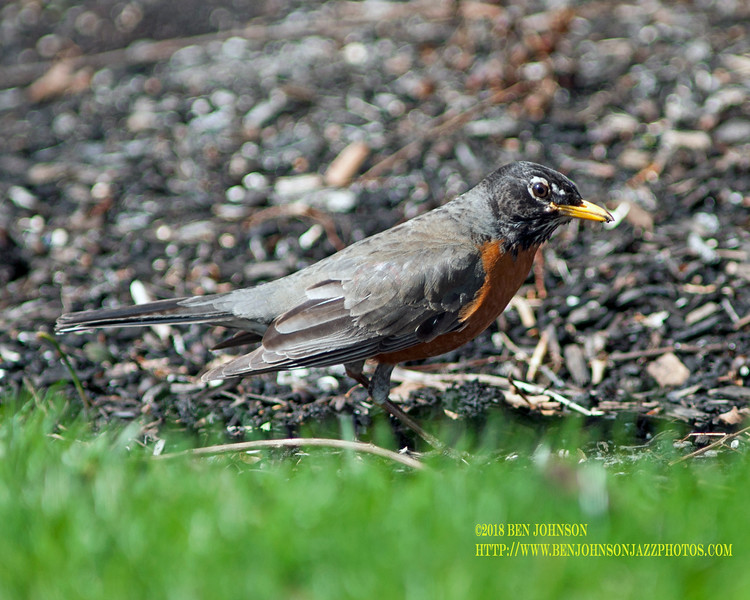 Robin Finding Worms