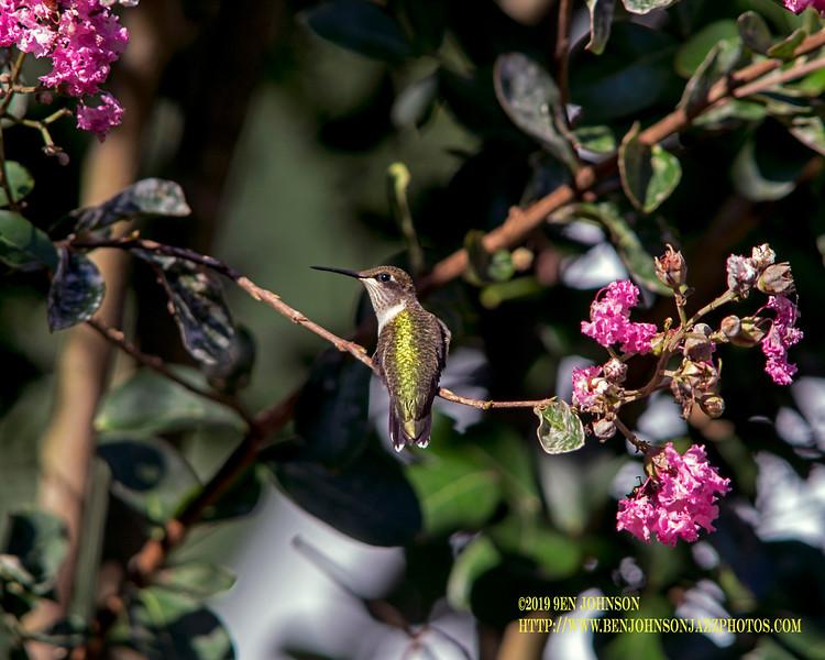 Hummingird On Crepe Myrtle Branch