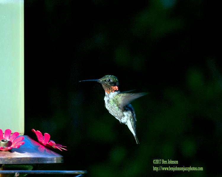 Hummingbird - July 31, 2017