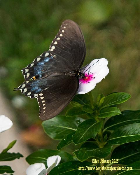 Butterfly 082215