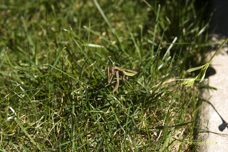 A praying mantis wandered into my backyard perhaps lured by the smell of the ribs I was cooking and wound up being an unexpected model September 12, 2012