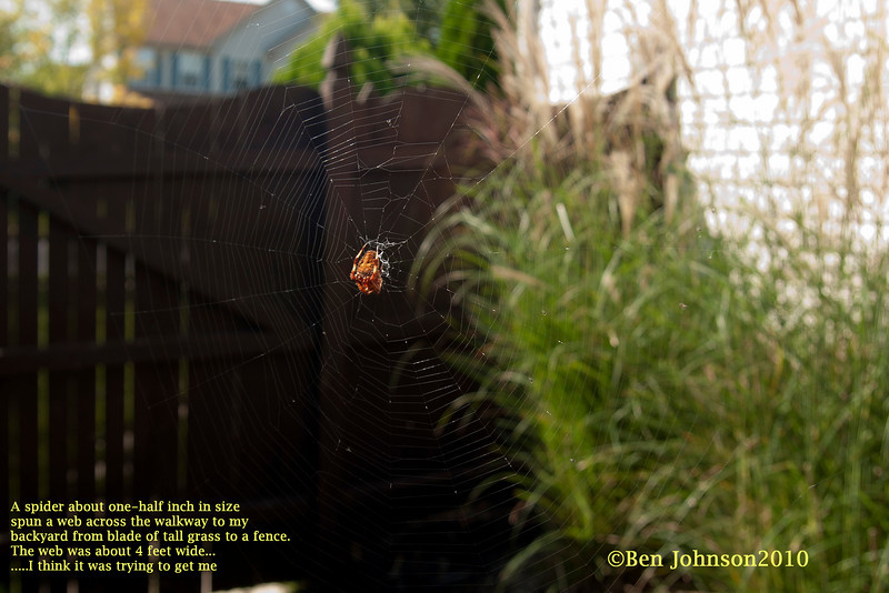 A small spider about one-half inch in size spun a web from a blade of tall grass, across my the walkway to my backyard, about 4.5 feet across to my fence. i think it was out to get me!<br /> Shot with a Sony A-700 and Sigma 17-28 lens hand held.