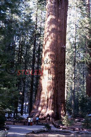 Calif1970-7-34 Sequia Nat Park redwood