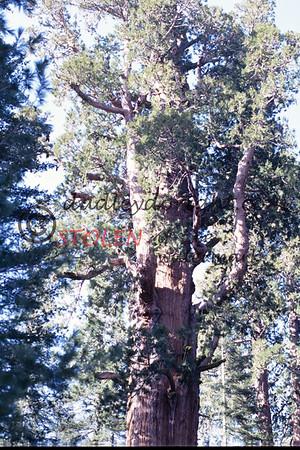 Calif1970-7-35 Sequia Nat Park redwood