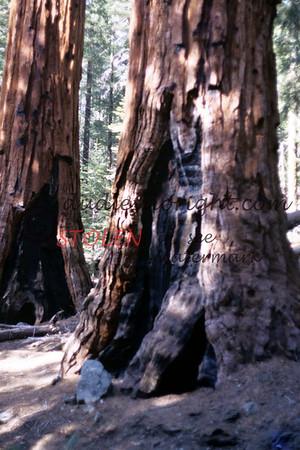 Calif1970-7-32 Sequia Nat Park redwoods