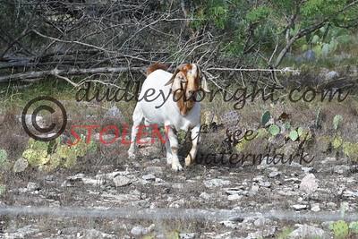 ScenicSouthTexas2017-065 goats