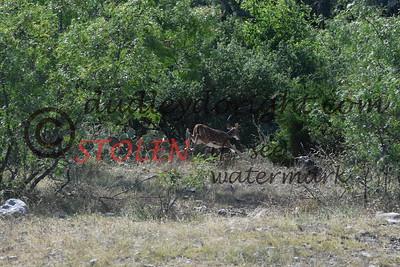 ScenicSouthTexas2017-063 axis deer