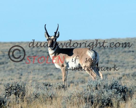 TRIP2011-008 wyoming antelope
