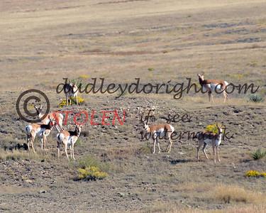 TRIP2011-004 wyoming antelope