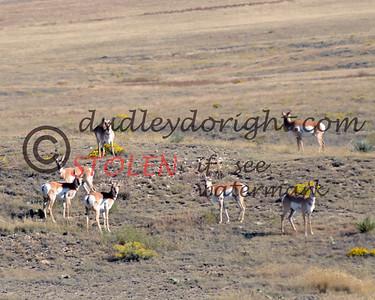 TRIP2011-005 wyoming antelope