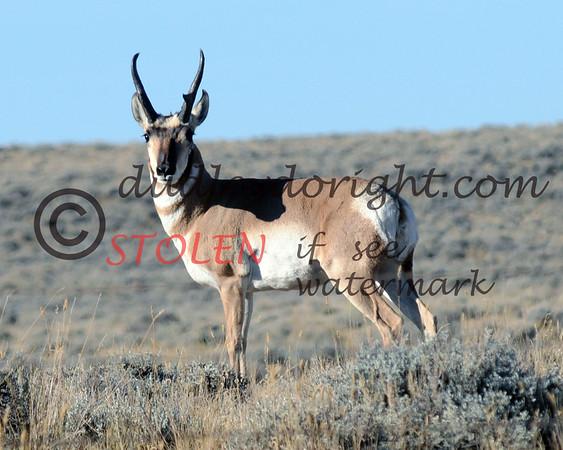 TRIP2011-006 wyoming antelope