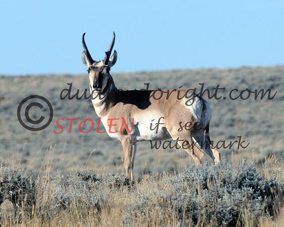 TRIP2011-007 wyoming antelope