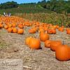 Pumpkins at Cider Hill Farm, Amesbury