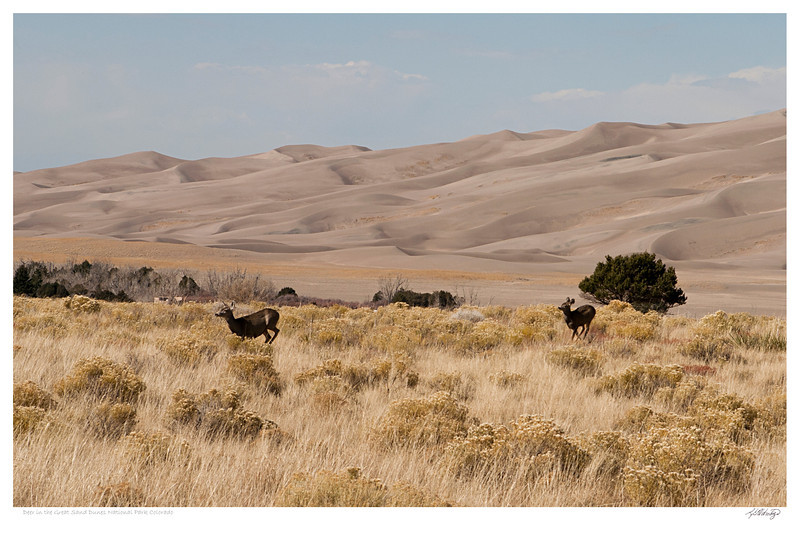 Deer in Great Sand Dunes National Park Colorado