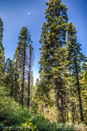 Giant Sequoias photographed along the South Grove Loop at the Calaveras Big Trees State Park in the Stanislaus National Forest photographed Sunday August 21, 2016. (© James D. DeCamp | http://www.JamesDeCamp.com | 614-367-6366)