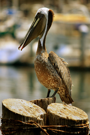 Pelicans on the Monterey Coast (© James D. DeCamp | http://www.JamesDeCamp.com | 614-367-6366)