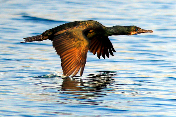 Bird skimming the water along the Monterey Coast (© James D. DeCamp | http://www.JamesDeCamp.com | 614-367-6366)
