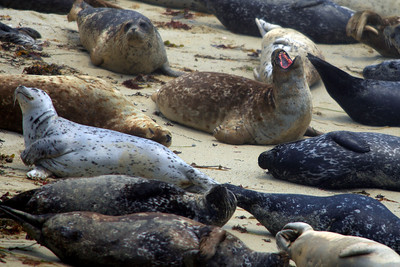 Seals on the Monterey Coast (© James D. DeCamp | http://www.JamesDeCamp.com | 614-367-6366)