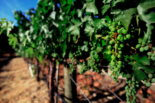 Grapes in Napa Valley - Callistoga, California (© James D. DeCamp | http://www.JamesDeCamp.com | 614-367-6366)