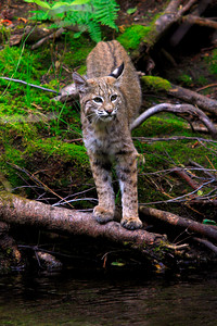 A Bobcat deep in the Sierra Nevada mountain range (© James D. DeCamp | http://www.JamesDeCamp.com | 614-367-6366)